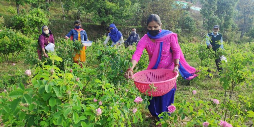 Indian damask rose farmers