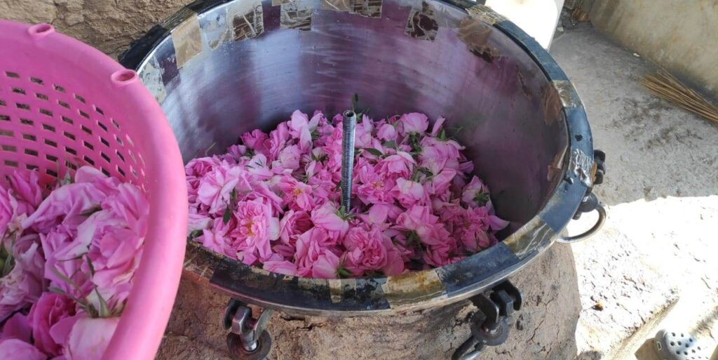 Damask rose steam distillation