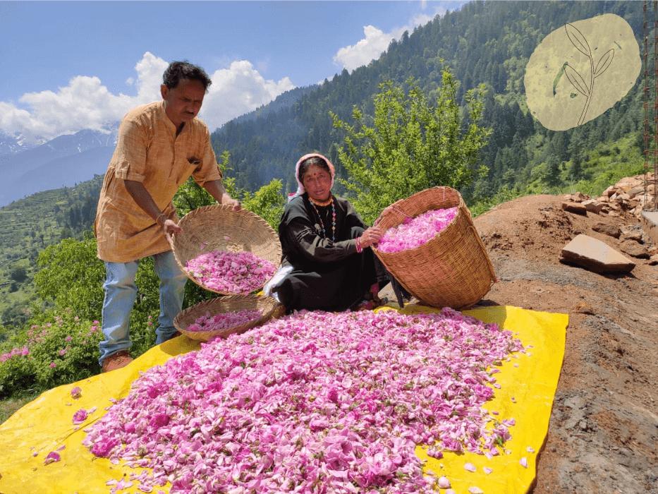 Damask rose sorting