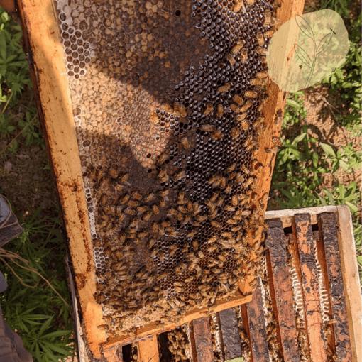 Eucalyptus honey from Himachal pradesh